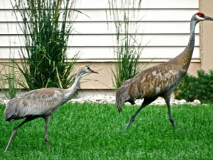 Sandhill crane family taking a stroll around our estate.