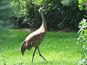 The Sandhill Cranes have arrived and strut around.