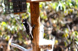 Male Downy Woodpecker. How can you tell when you can't even see his pecker? The red on his heads a dead giveaway. Nerdy.