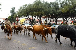 Round up time at Fort Worth. Poor old Rowdy Yates looks a tad worse for wear. Please mind the paintwork on my car. Real cattle this time no bronze statues.
