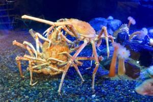 A crab menage s a trois.
