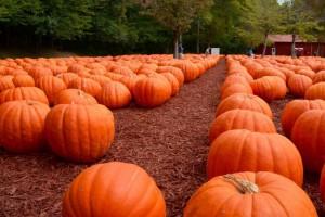 Pumpkins for Halloween. Only £40 each.