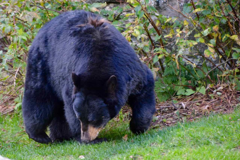 At last we get to see a black bear. Relax the only meat he eats is carrion.