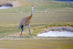 We now know it's Spring as the Sandhill Cranes are back.