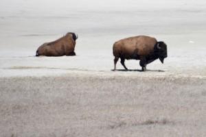 Buffalo on Antelope Island.